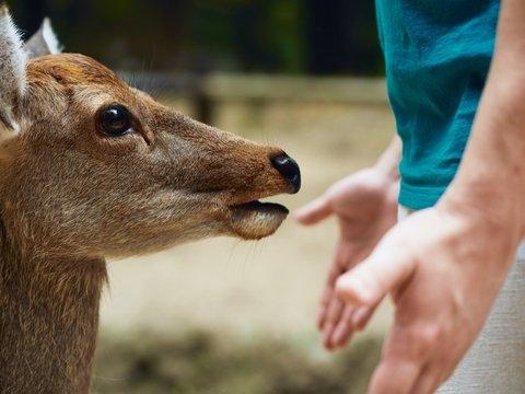 В Японии олени травятся пластиком и умирают. Их спасут съедобными пакетами