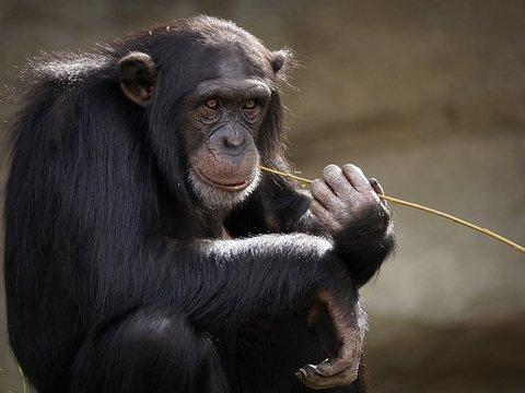 Старые шимпанзе ведут себя как люди: общаются только с верными друзьями