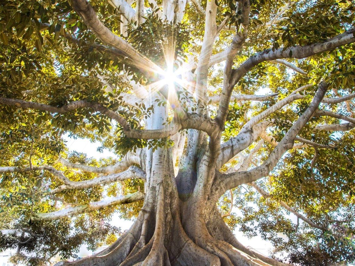 Ничего святого: в Австралии ради шоссе срубили 500-летнее священное дерево