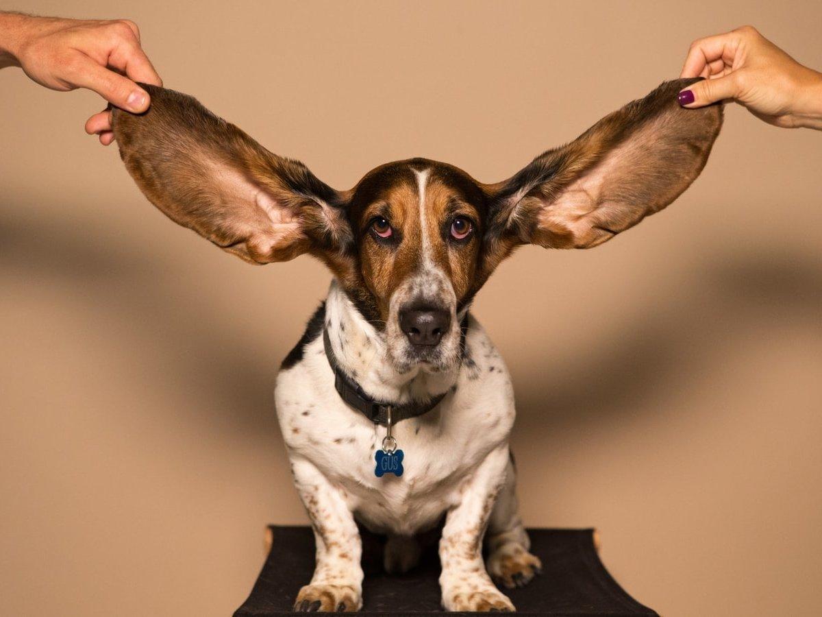 Уровень стресса можно измерить по ушной сере