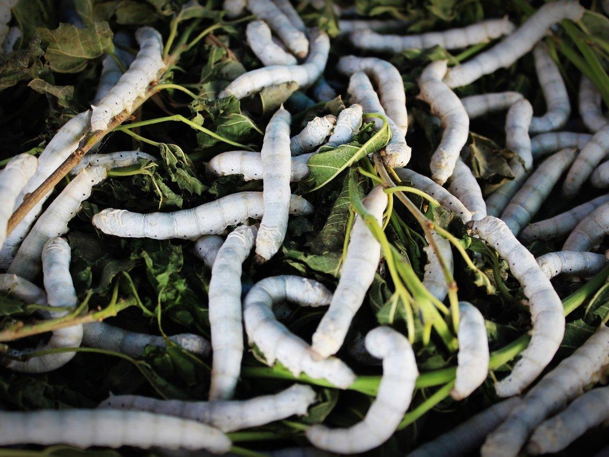 В ЕС начнут есть мучных червей. Это первые насекомые, одобренные в пищу