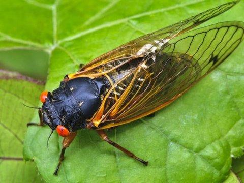 Миллиарды цикад 17 лет скрывались под землёй. Теперь они захватят США