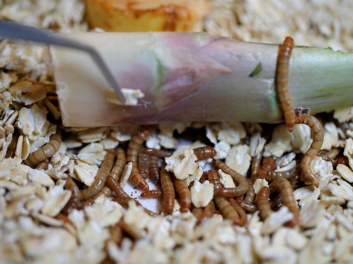 """""""Новая еда"""": мучные черви и мякоть баобаба"""